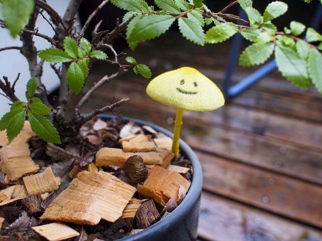 観葉植物 キノコ