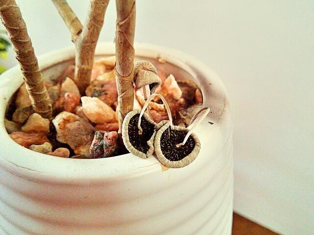 観葉植物 キノコ 対策
